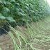 Langkah Mudah Budidaya Tanaman Kacang Panjang (Vigna sinensis)