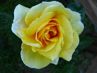 pic  yellow rose flowers  uruguay photo