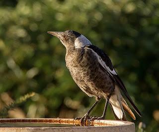 العقعق الأسترالي Australian Magpie