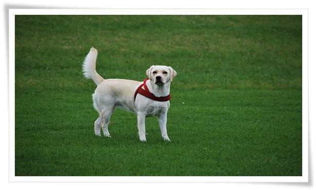 Training Labradors