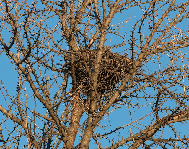 Red-tailed hawk nest in Tompkins Square ginkgo tree