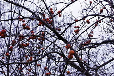 Cada vez se encuentran más arboles de caquis que empiezan a coger color, aunque estos son de un invierno avanzado