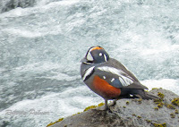 Harlequin Duck drake, Iceland - by Roberta Palmer, June 17, 2017