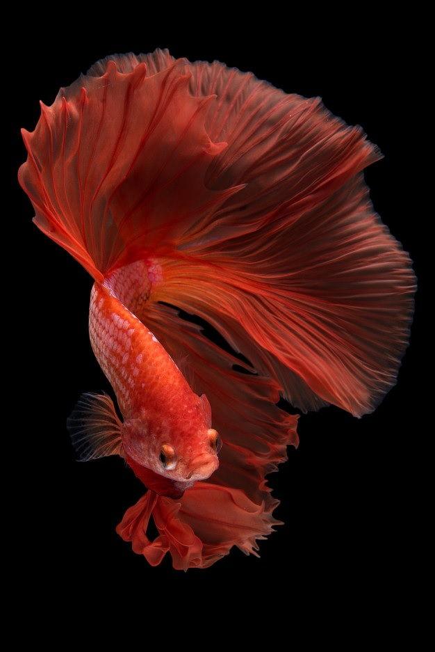 Image Betta Fish Food Petco