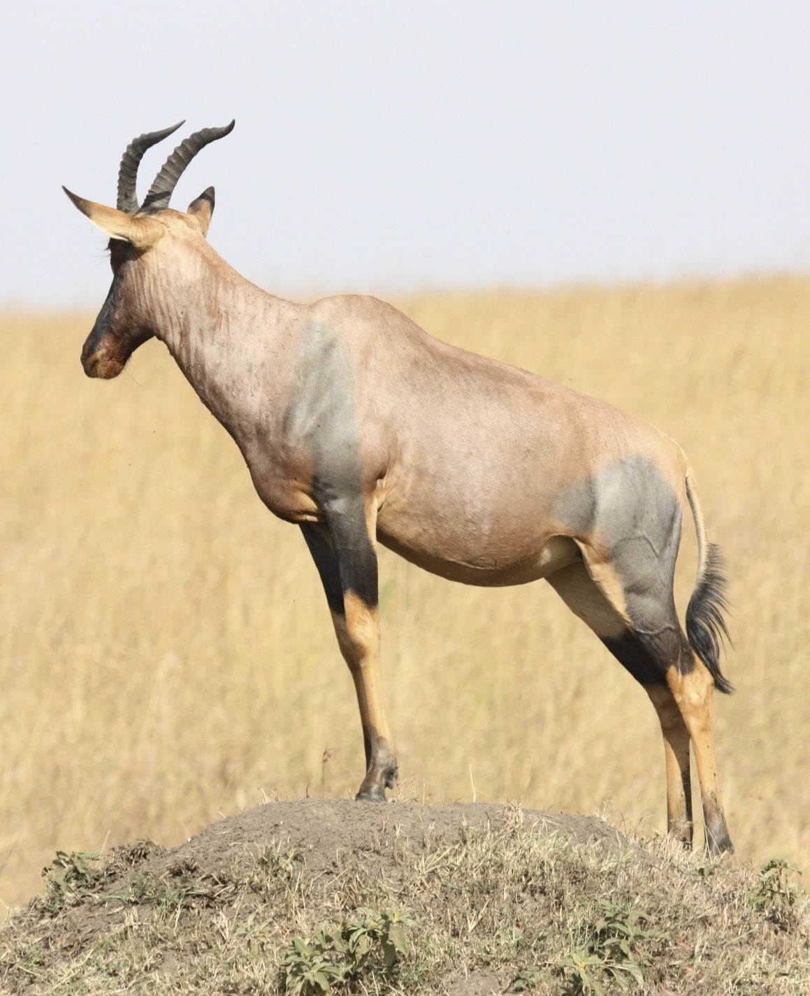 A photo of an antelope.