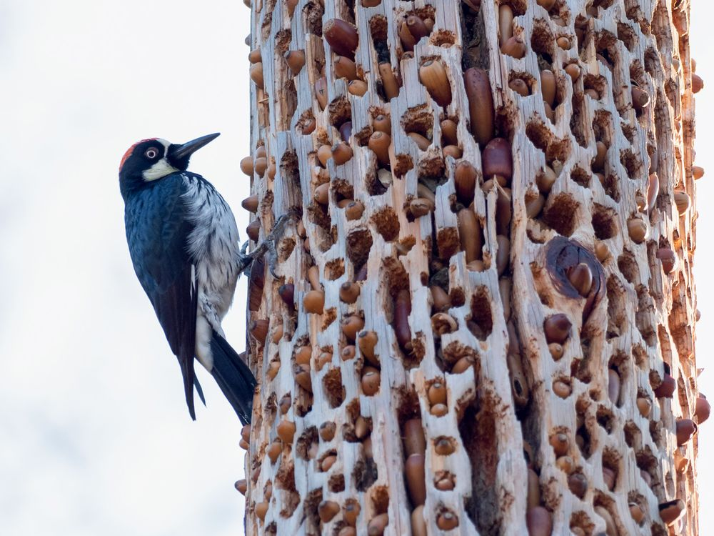 Acorn Woodpecker granaries
