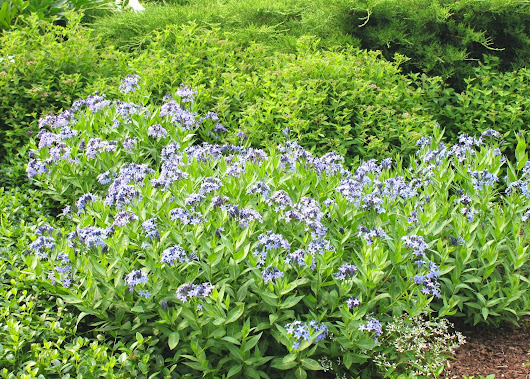 A Great Deer Resistant Blue Perennial - Blue Ice
