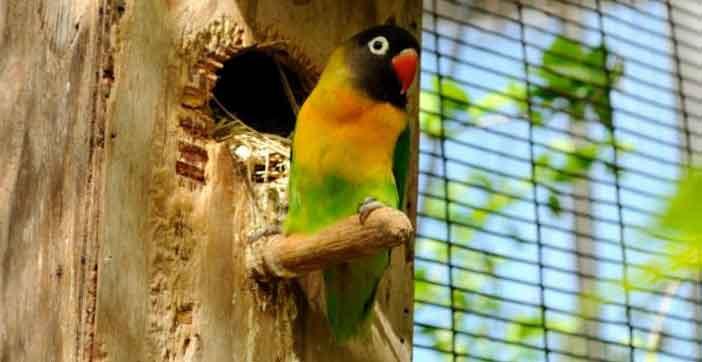 Harga Burung Lovebird Dakocan