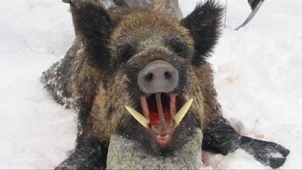 A Bunch Of Rampaging Wild Boars Killed 3 ISIS Militants In Iraq!