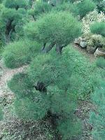 jual bonsai jakarta