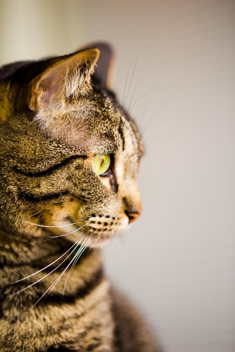 tabby cat sochi