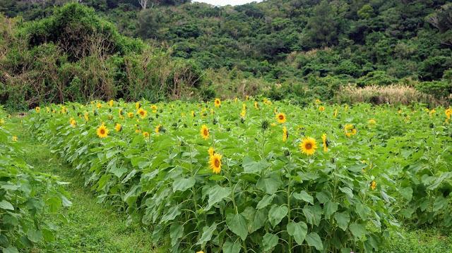 沖縄 ひまわり畑