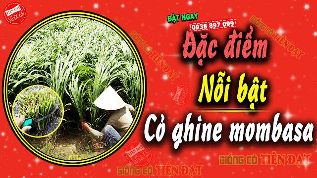 Đặc điểm cỏ ghine mombasa