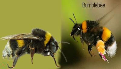 bumblebee, bumblebee insect,ভ্রমর