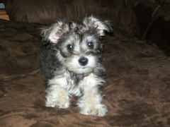 Schnauzer Bichon Mix Temperament, Size, Lifespan, Adoption, Price