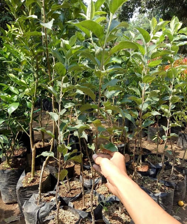 Bibit tanaman buah apel pink honey okulasi siap berbuah Sulawesi Tenggara