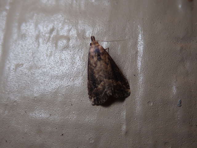 Schrankia macula