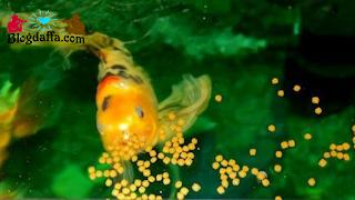 Pemberian Pakan Ikan Hias