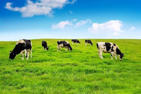 Megmenekül a leöléstől a szabadon kóborló lengyel tehéncsorda