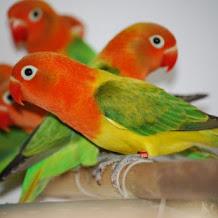 Asal Usul Dari Burung Lovebird Opaline Atau Lovebird Biola