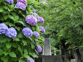 甘縄神明神社のアジサイ