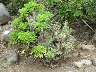 Pachypodium lamerei f. cristatum - Pachypodium lamerei f. cristata