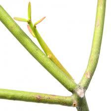 Getah Pohon Patah Tulang