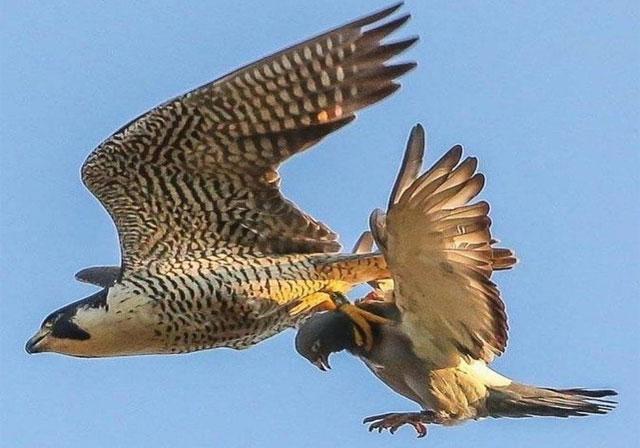 falcon tangkap merpati