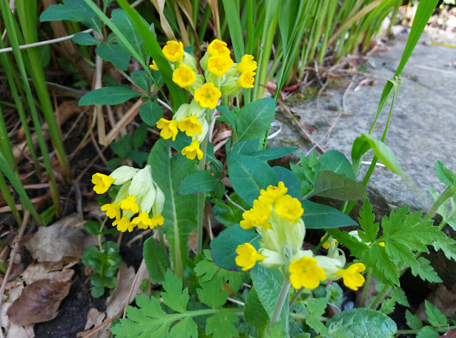 Yellow cowslip flowers growing along the side of a stone step