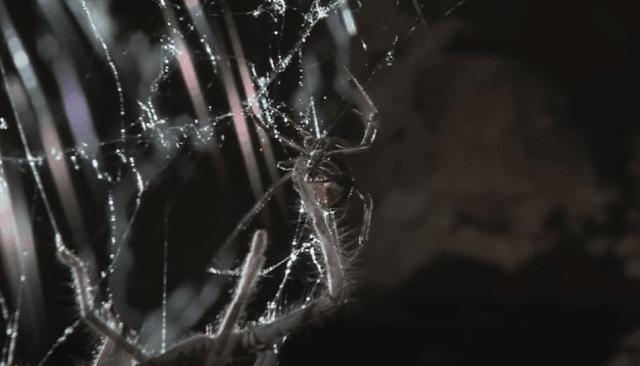 العنكبوت الأحمر الظهر