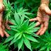 El sacrificio de una madre cultivando marihuana por la vida de su hijo