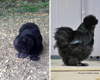 Above and side views of the same chicken to show angle differences
