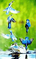 মাছরাঙা পাখির মাছ শিকারের ধারাবাহিক চিত্র