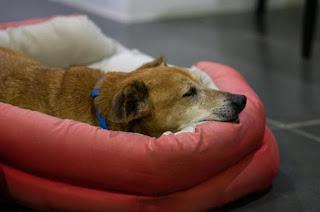 tratamento artrose em cães