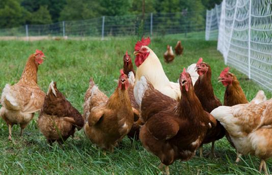 Cara Membuat Pakan Ternak Untuk Ayam Organik