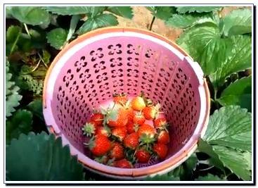 Wisata Petik Strawberry Malang