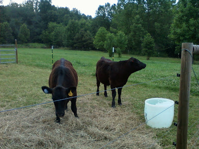 two black cattle and a water tub
