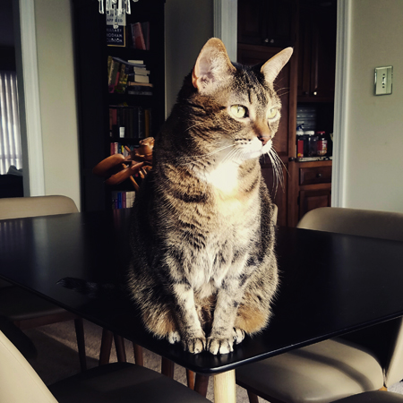 image of Sophie the Torbie Cat sitting on the dining room table, looking intently out the window