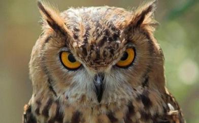 Burung Hantu Memiliki Penglihatan dan Pendengaran yang Tajam