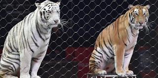 Τίγρεις σε τσίρκο κατασπάραξαν τον θηριοδαμαστή τους λίγο πριν αρχίσει το σόου