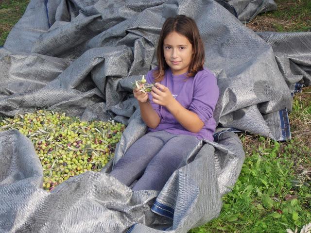 μαζεύουμε τις ελιές με τα παιδιά