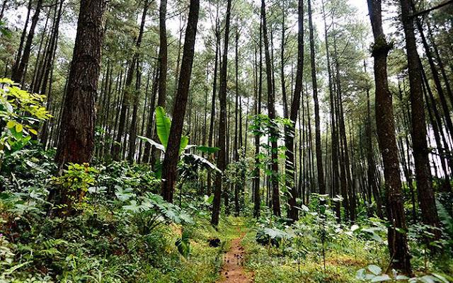 Memotret jalanan setapak di Hutan Pinus Kandangan