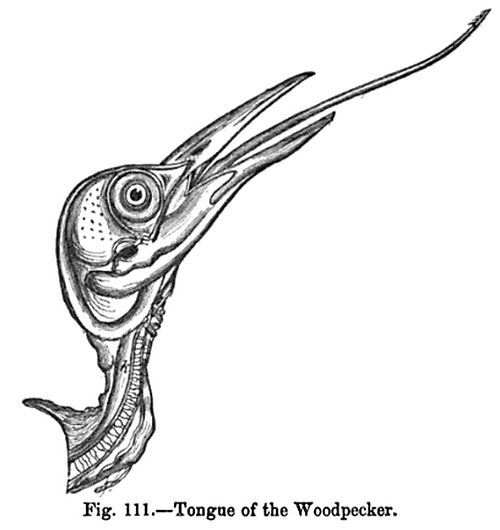 Tongue of the Woodpecker