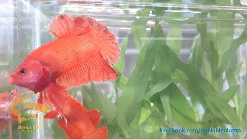 Image Orange Betta Fish Plakat