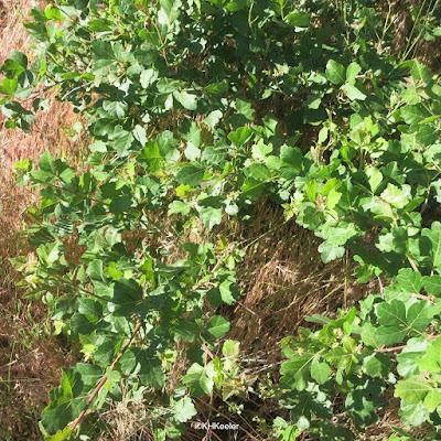 Rhus trilobata three-leaf sumac