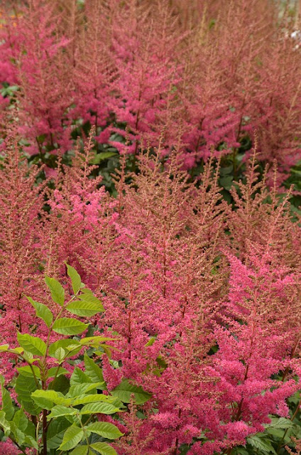 Picture of Red Astilbe-when do Astilbes flower