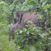 Belasan Gajah Liar Masuk ke Kebun Sawit