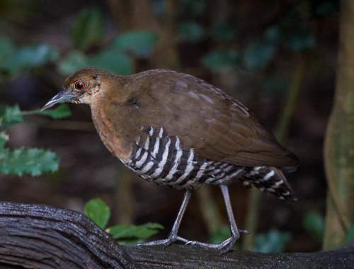 Birds of India - banded crake - Rallina eurizonoides