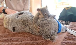 Μωρό κοάλα κρατάει τη μαμά του που κάνει εγχείρηση
