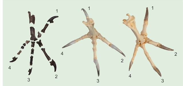 Scientists describe the most complete fossil from the early stages of owl evolution